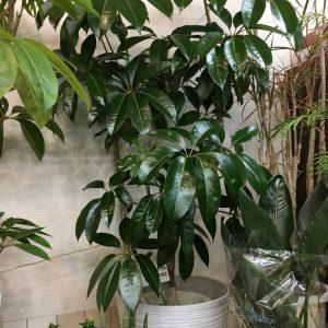 チュピタンサス 観葉樹 尺鉢